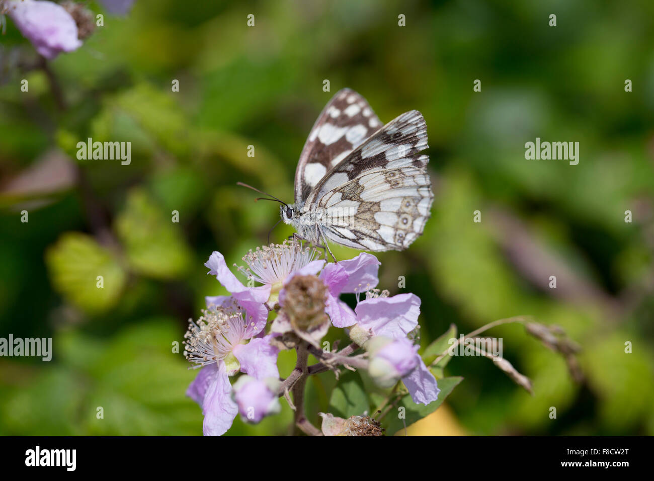 Marbled White Butterfly; Melanargia galathea Single on Blossom; Cornwall; UK - Stock Image