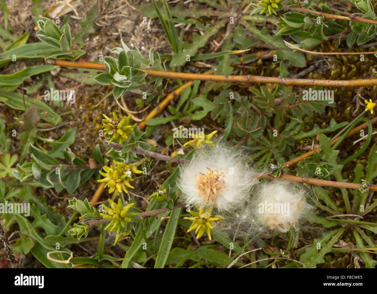 Creeping Willow, Salix repens in fruit, in damp dune-slack. - Stock Image