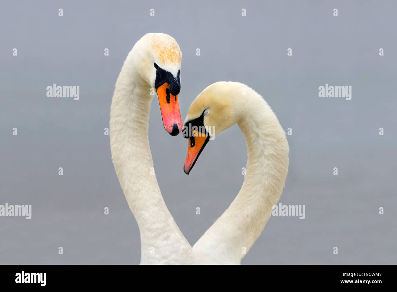 Mute Swans; Cygnus olor; displaying - Stock Image