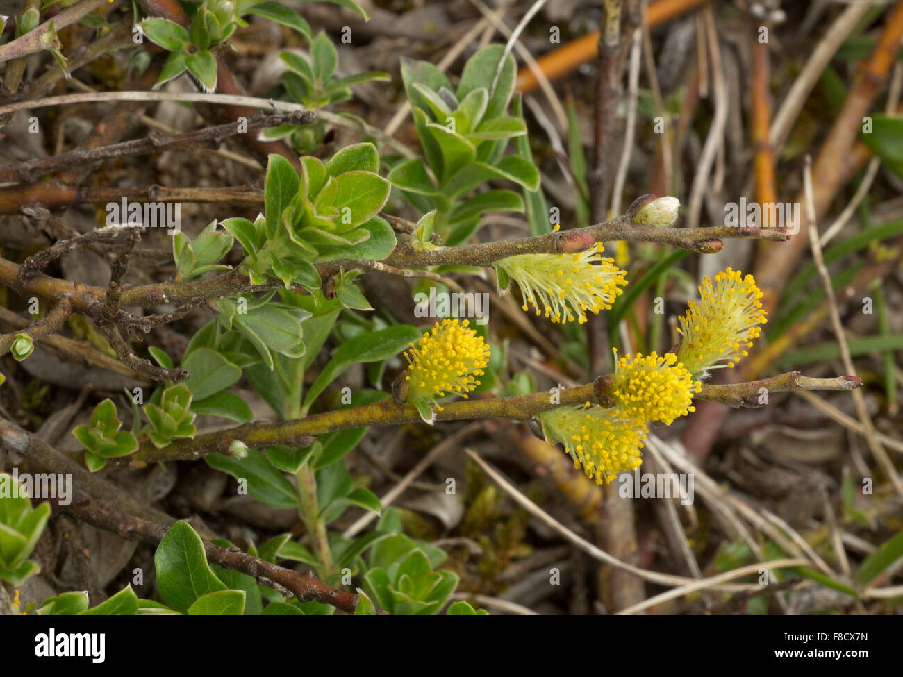 Creeping Willow, Salix repens in flower, in damp dune-slack. - Stock Image