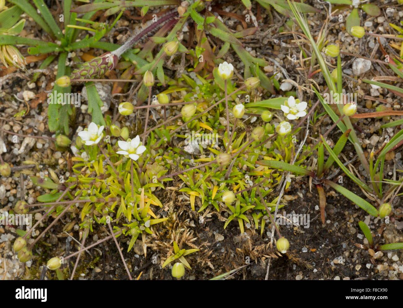 Heath Pearlwort, Sagina subulata, in flower on coastal heath, Brittany. - Stock Image