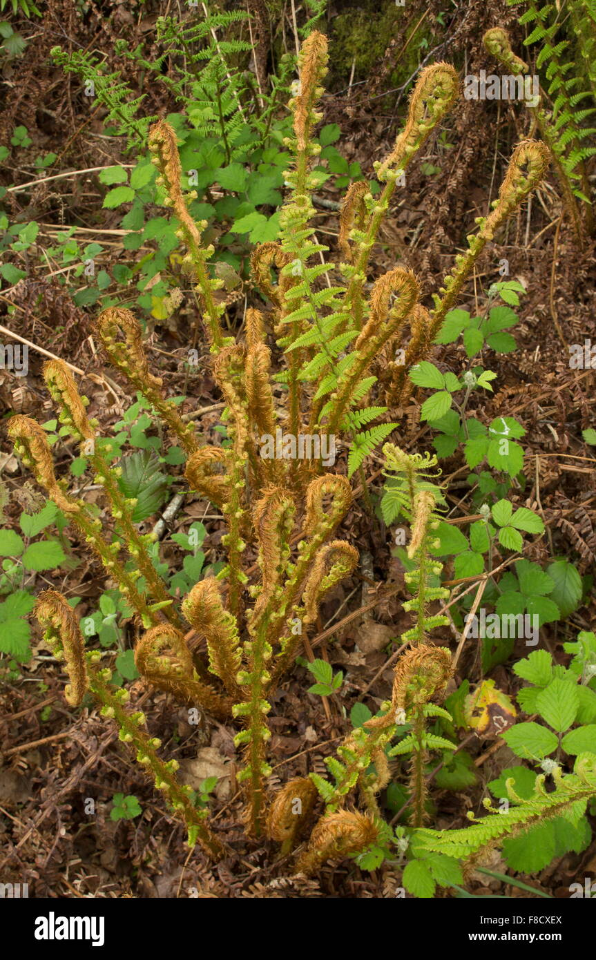 Scaly male fern, Dryopteris affinis ssp. affinis, with fronds showing circinate vernation, (unfurling) in spring. - Stock Image