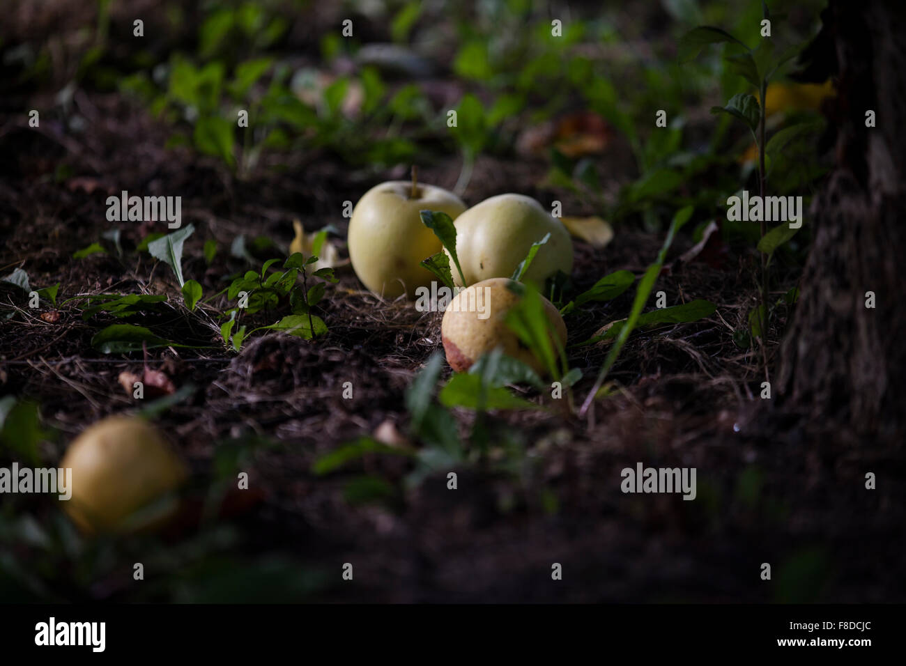 Apples on the ground of the orchard begin to rot. - Stock Image