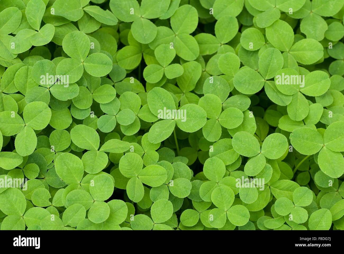 Close-up of Field of Clover - Stock Image
