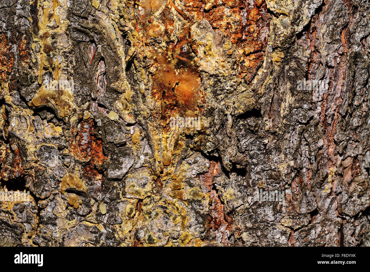 Pine bark background. Untreated wood. Grungy texture. Stock Photo
