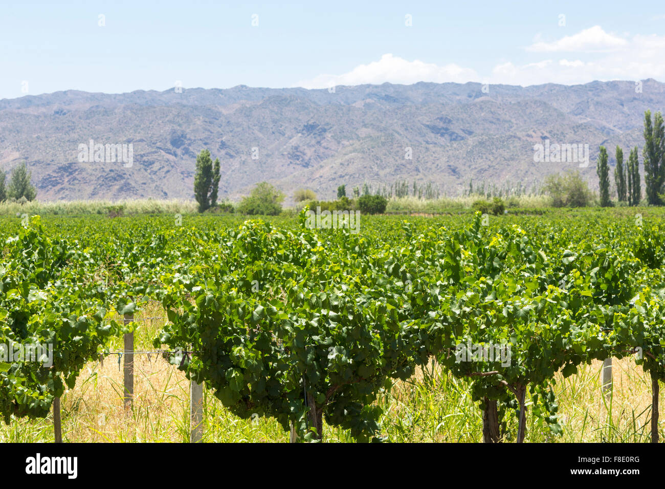 Detail of vineyards in Argentina - Stock Image