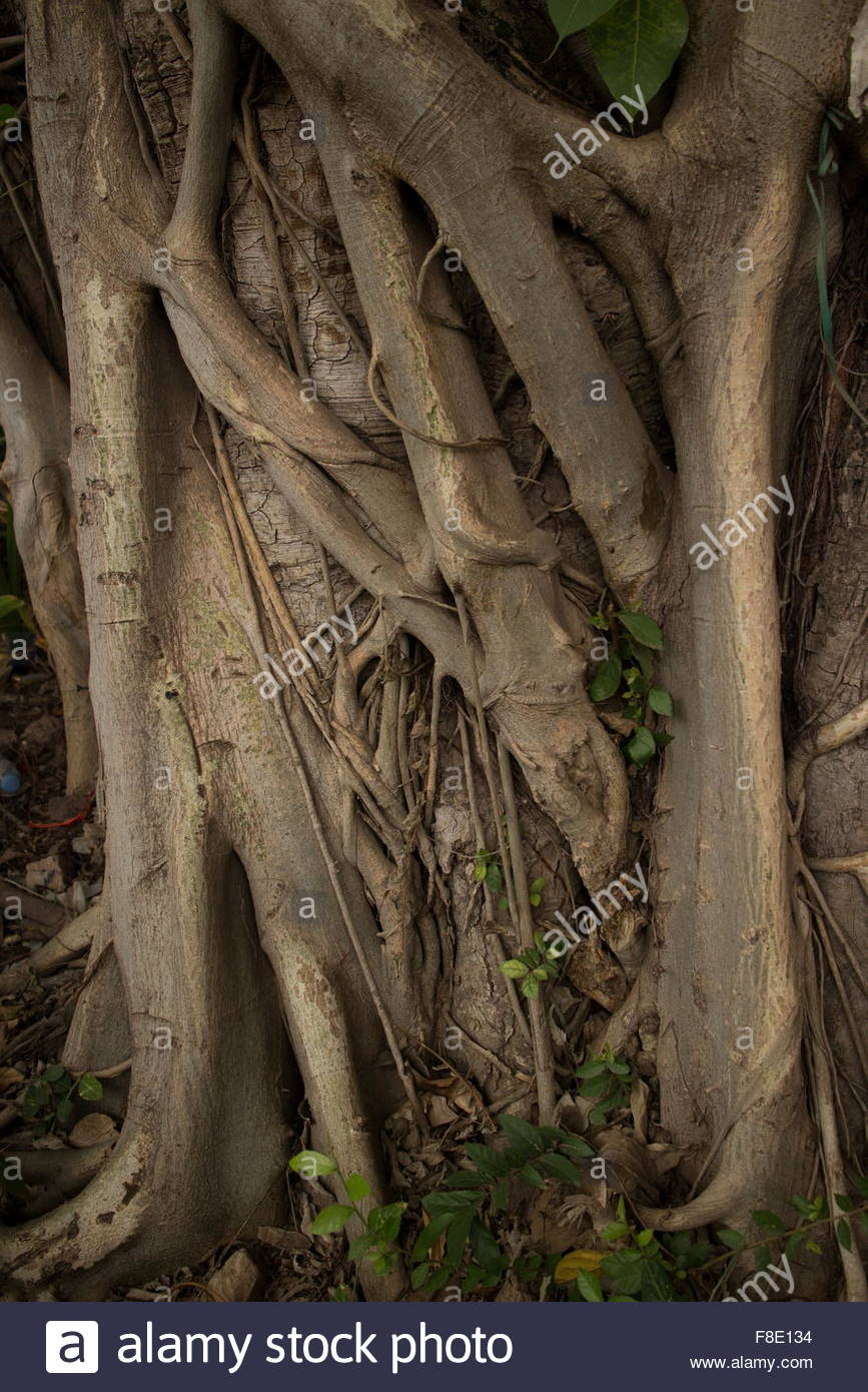Roots of an Asian tree flow and overlap one another near ground level, creating interesting textures. Root shafts - Stock Image
