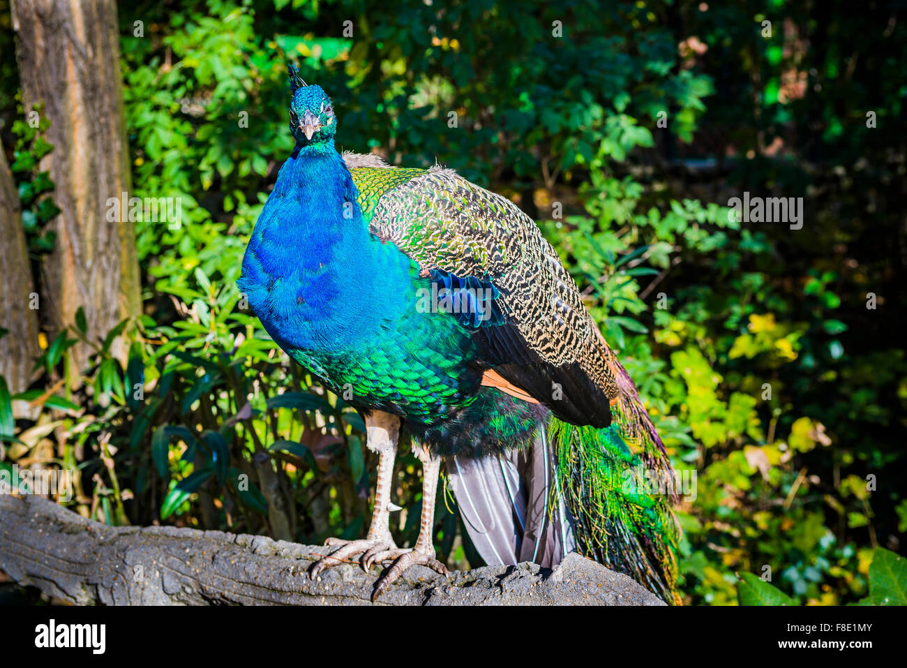 Peafowl. The 'Campo Grande' is a large public park located in the heart of the city of Valladolid. Castile - Stock Image