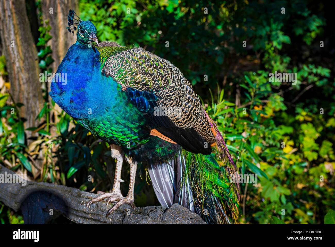 Peafowl. The 'Campo Grande' is a large public park located in the heart of the city of Valladolid. Castile and Leon, Stock Photo