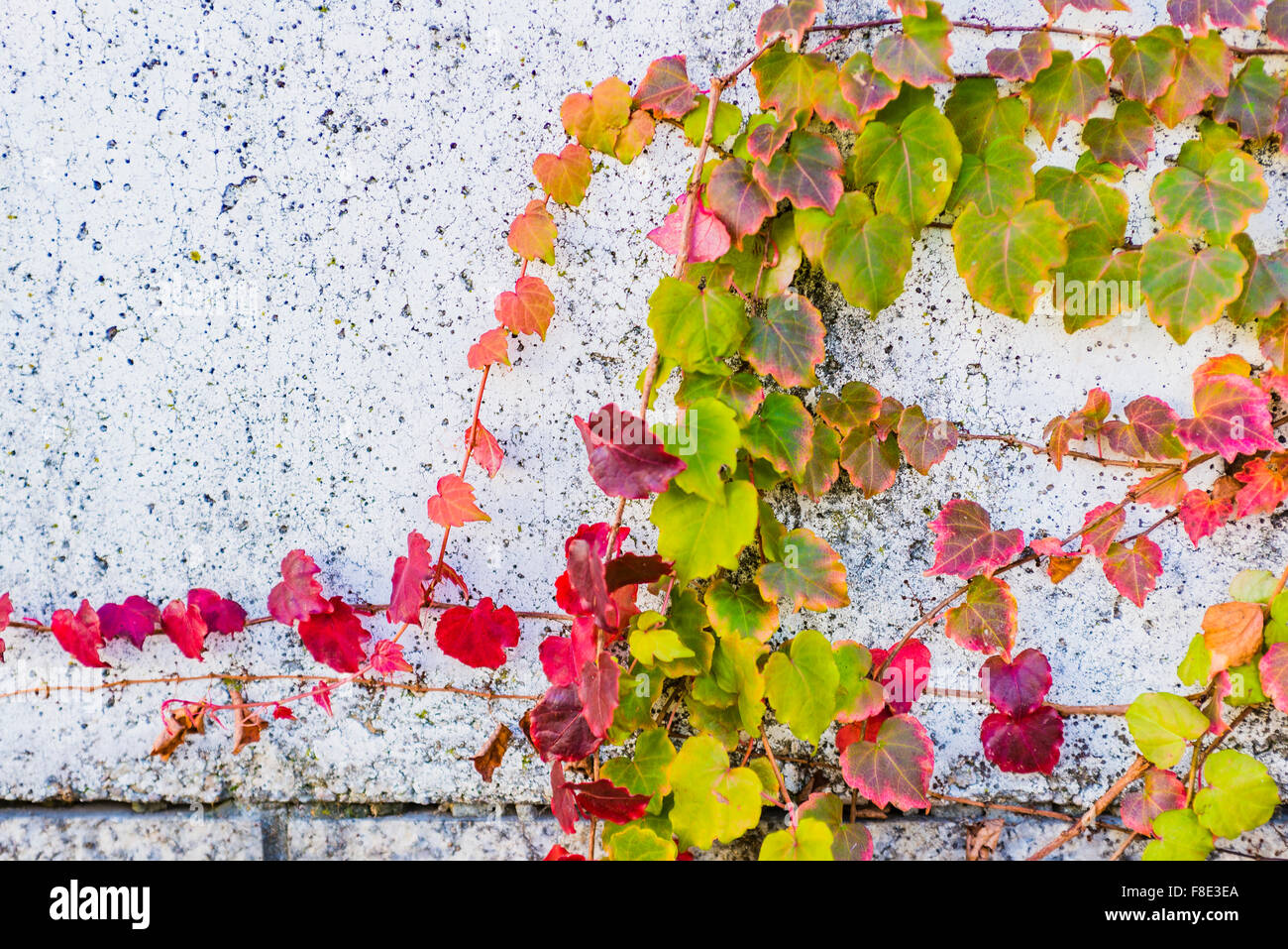 Parthenocissus tricuspidata is a flowering plant in the grape family. Autumn colors. - Stock Image