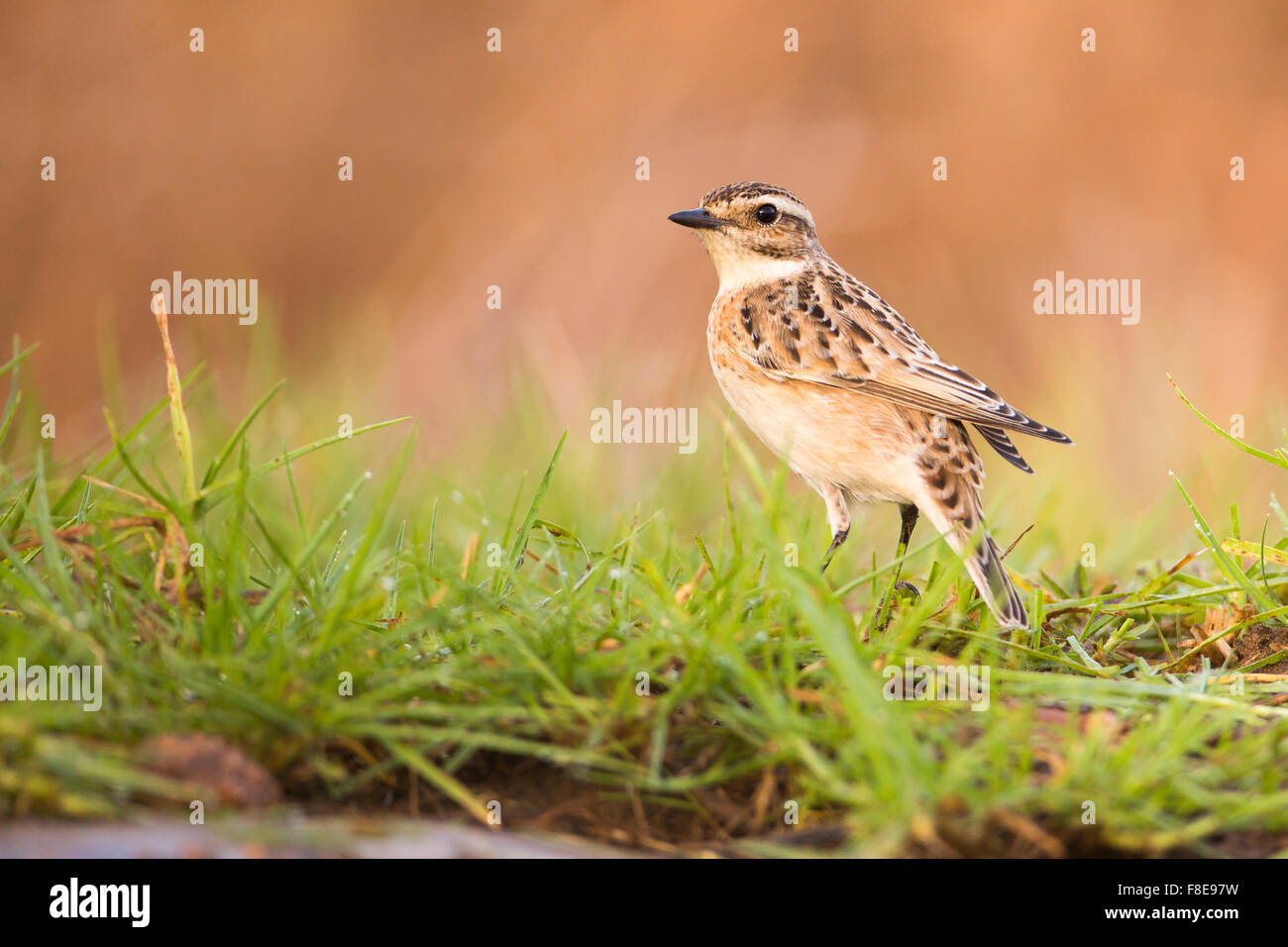 Female Whinchat (Saxicola rubetra) a small migratory passerine bird that breeds in Europe and western Asia and winters - Stock Image