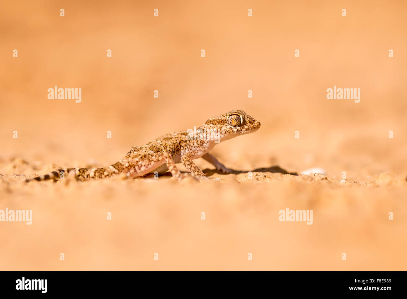Short-fingered Gecko (Stenodactylus sthenodactylus) sometimes called dune gecko or dwarf gecko. This specie is common Stock Photo