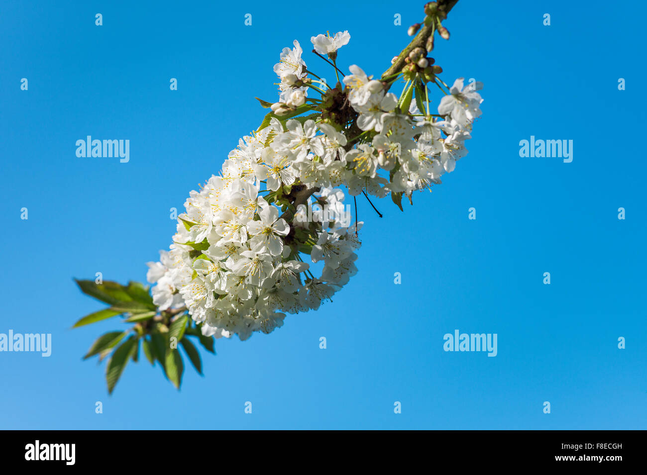 Dense clusters of white cherry blossom against a blue sky - Stock Image