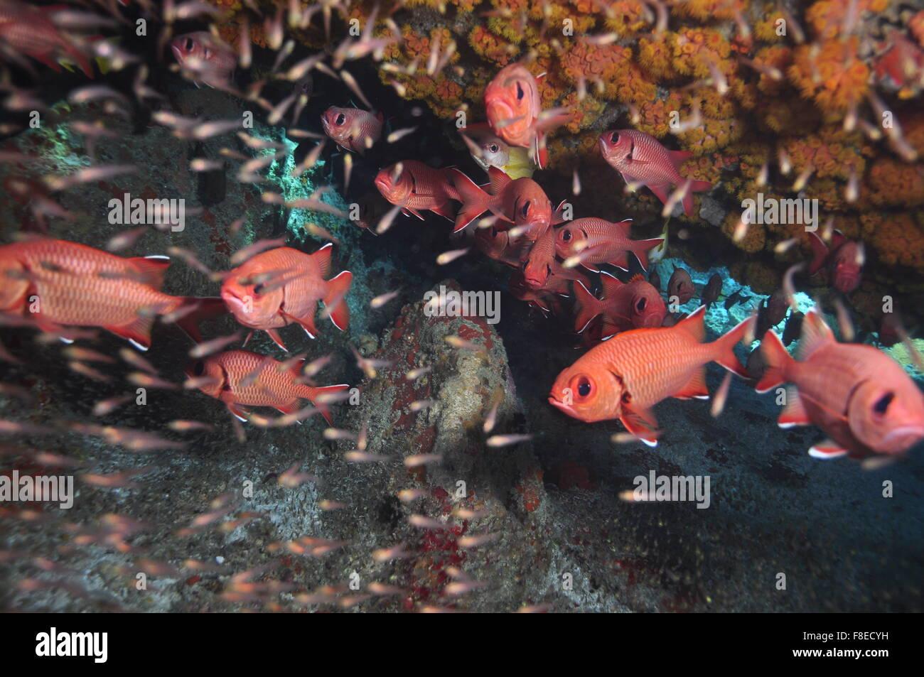 Myripristis murdjan, Scuba diver with school of soldier fish - Stock Image