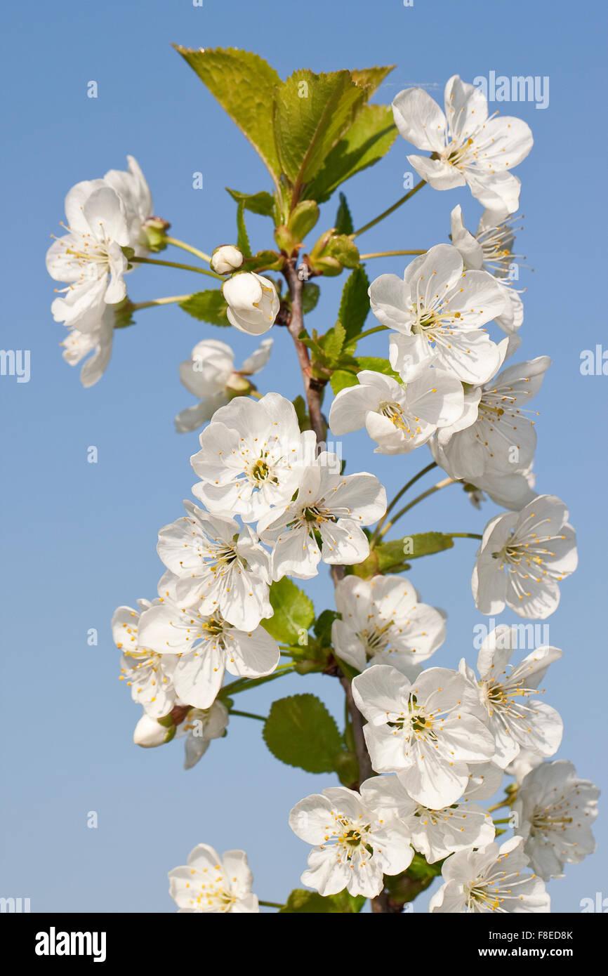 Sour cherry, Sauerkirsche, Weichselkirsche, Sauer-Kirsche, Kirsche, Schattenmorelle, Blüten, Blüte, Obstbaum, - Stock Image