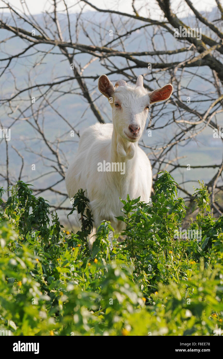 Nanny is a typical animal of Cilento fauna, running in the park, eating herb, it doesn't like being watched - Stock Image