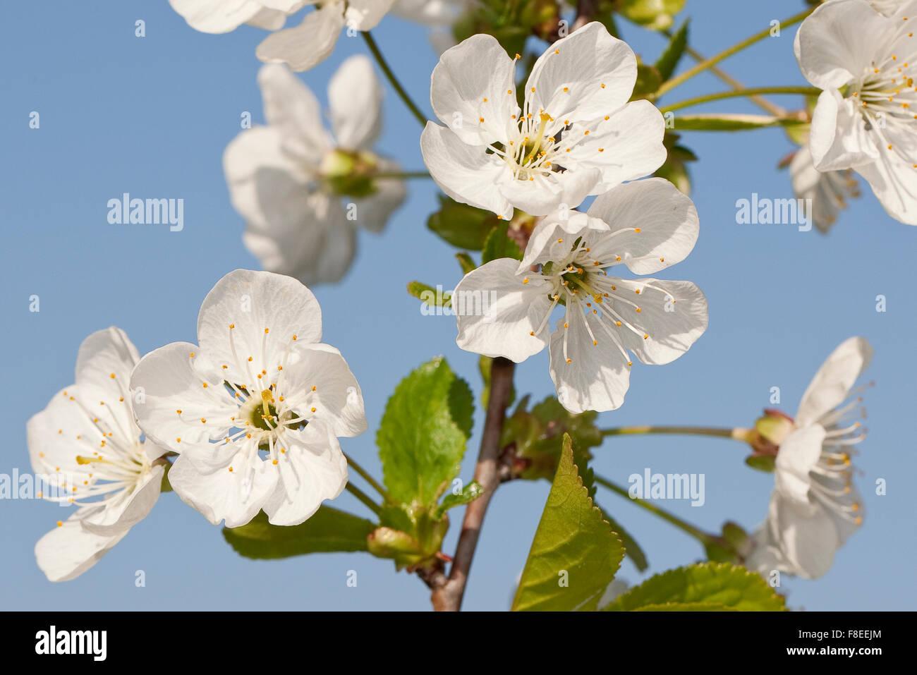Sour cherry, Sauerkirsche, Weichselkirsche, Sauer-Kirsche, Kirsche, Schattenmorelle, Blüten, Blüte, Obstbaum, Prunus Stock Photo