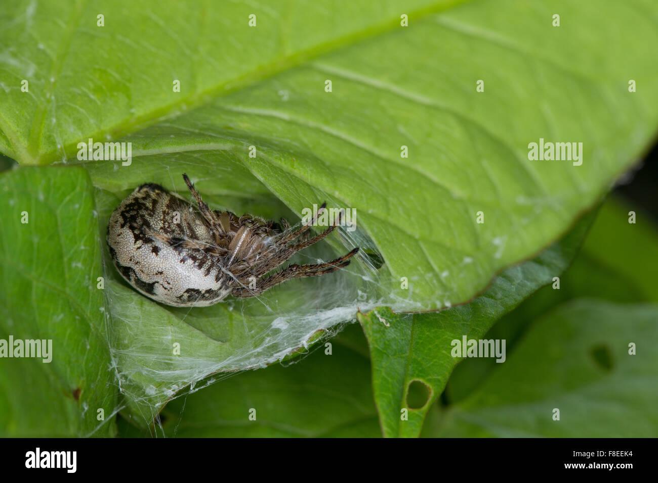 Furrow spider, Furrow Orbweaver Spider, Schilfradspinne, Schildkreuzspinne, Larinioides cornutus, Araneus cornutus Stock Photo