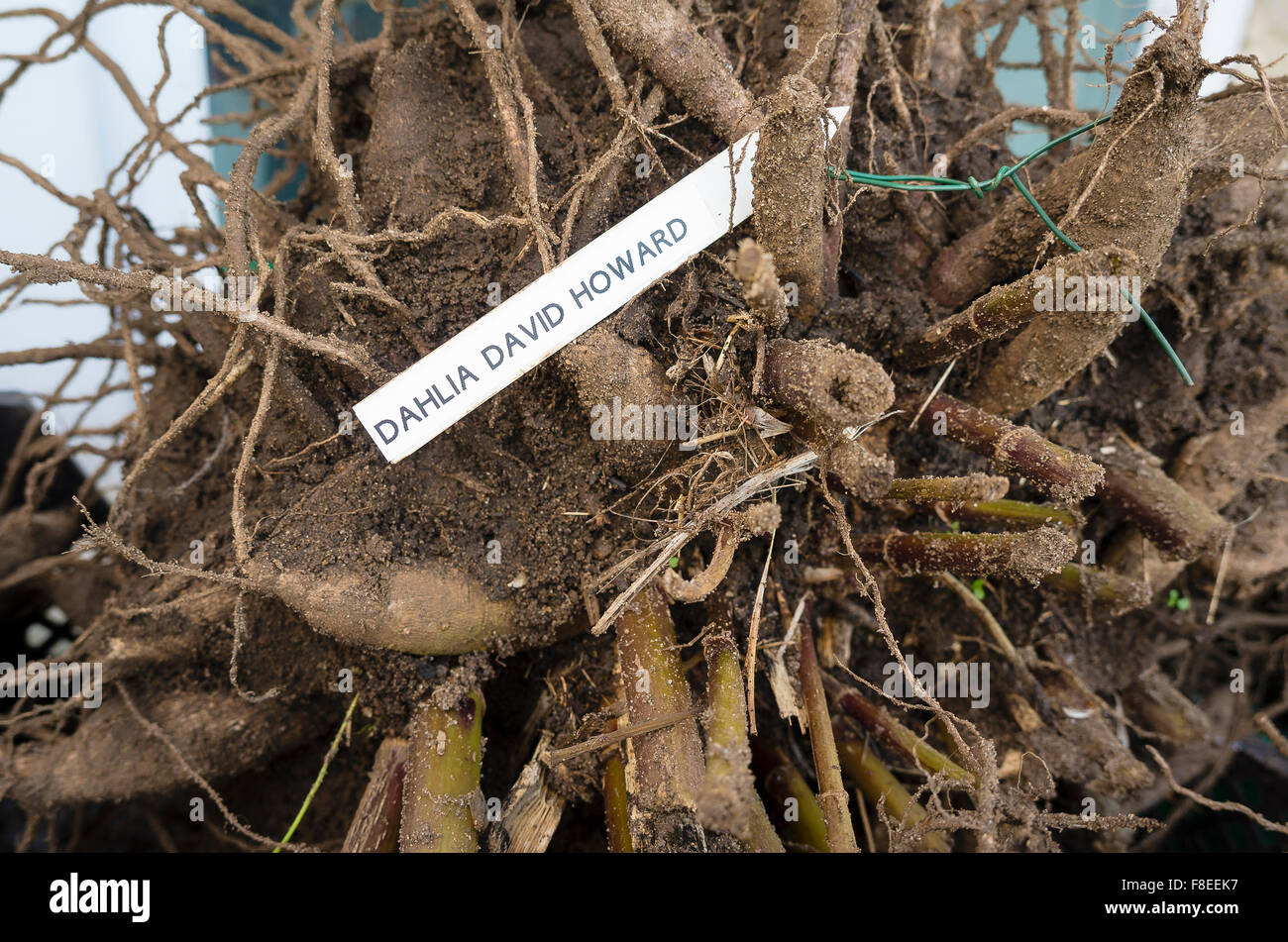 Dahlia David Howard tubers lifted and being dried for over-winter storage away from frost Stock Photo