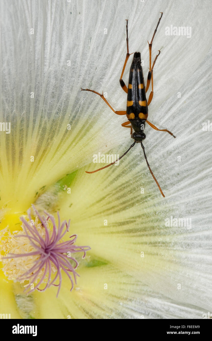 Long-horned beetle, Schlanker Schmalbock, Blütenbesuch, Strangalia attenuata, Typocerus attenuata, Leptura - Stock Image