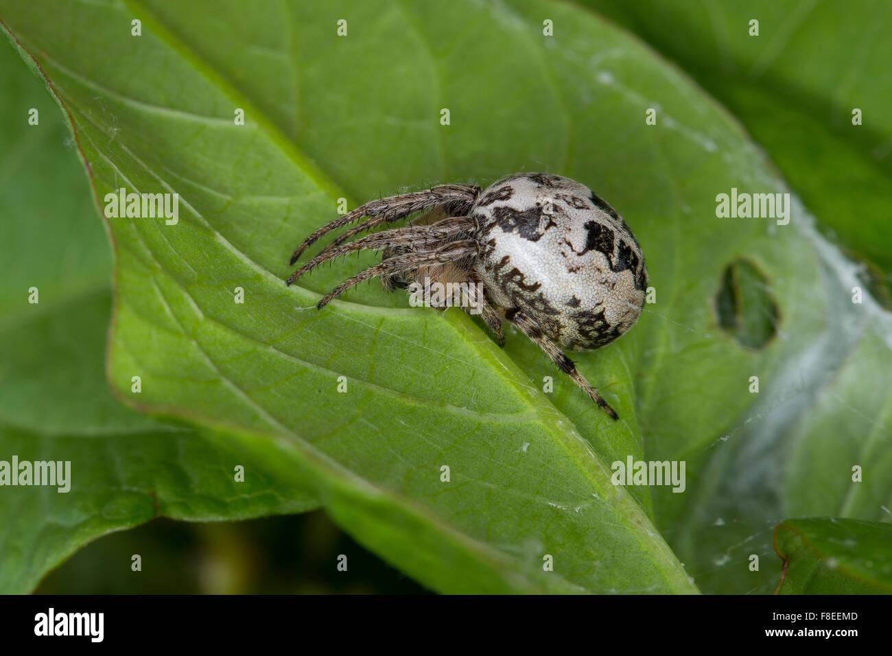 Furrow spider, Furrow Orbweaver Spider, Schilfradspinne, Schildkreuzspinne, Larinioides cornutus, Araneus cornutus - Stock Image