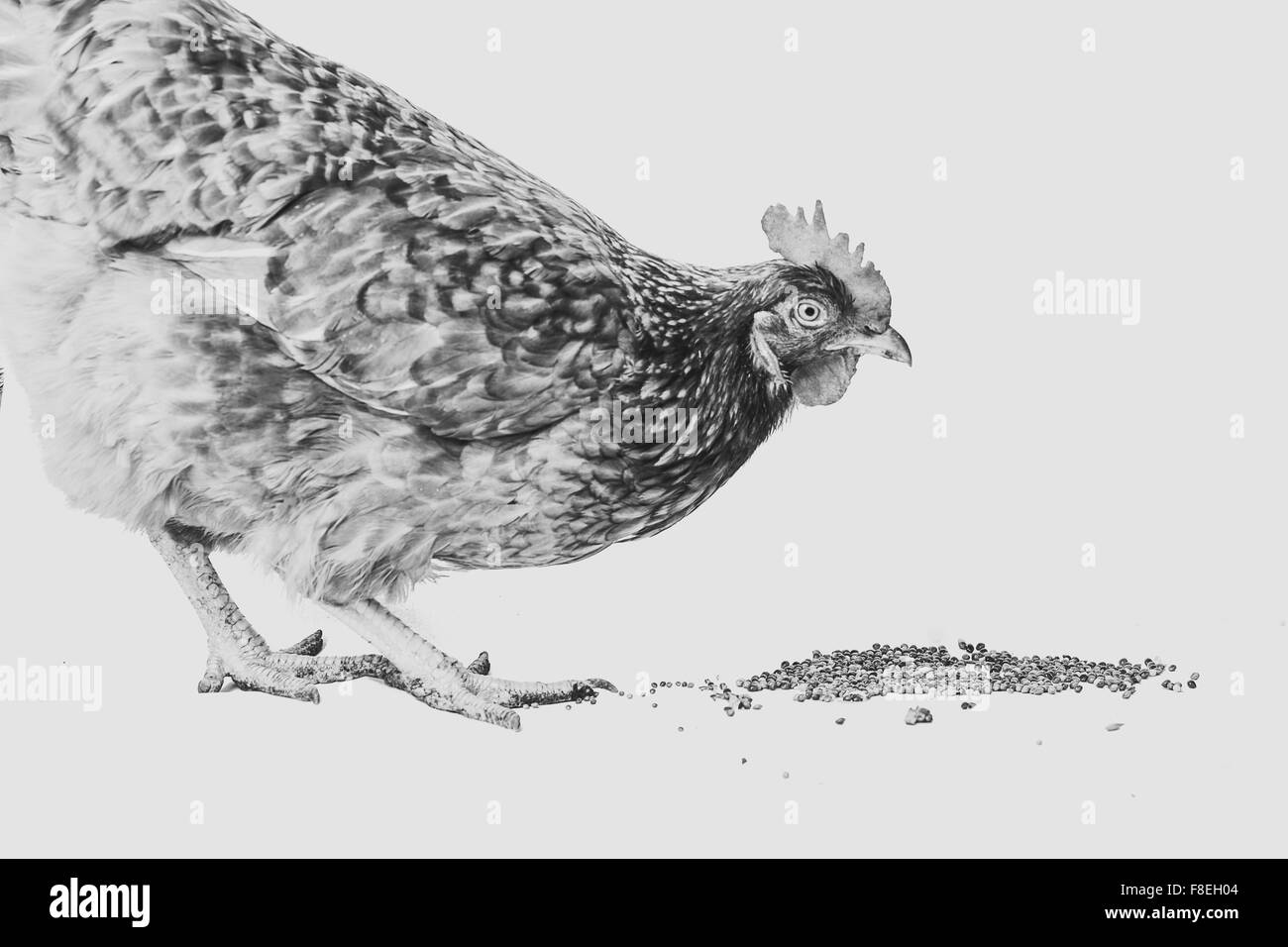 black and  white photo hen is pecking  grain on the whitey ground - Stock Image