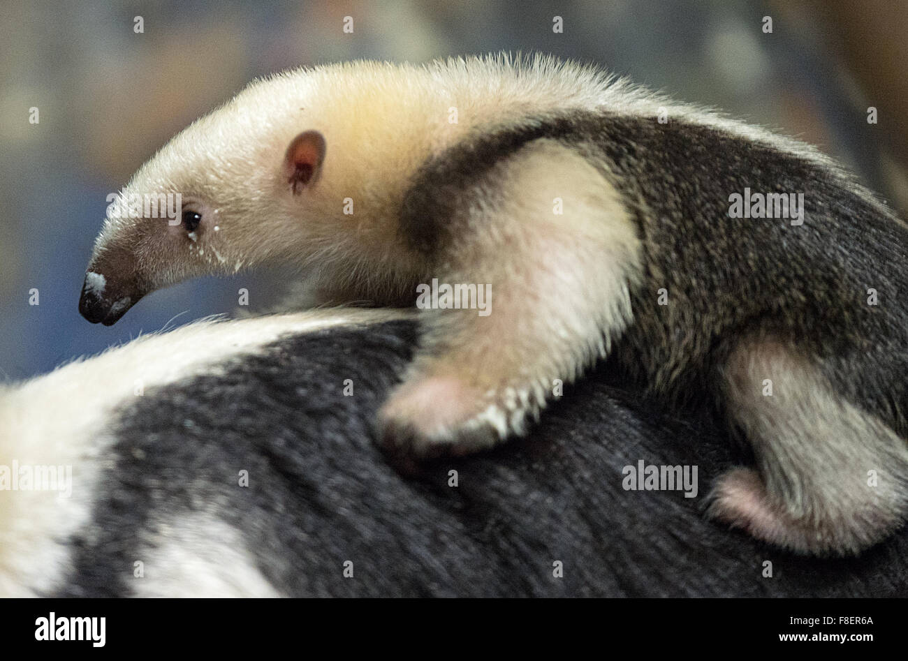 Frankfurt zoo, Germany. 9th December, 2015. The two-month-old tamandua (lesser anteater) climbs on its mother's - Stock Image