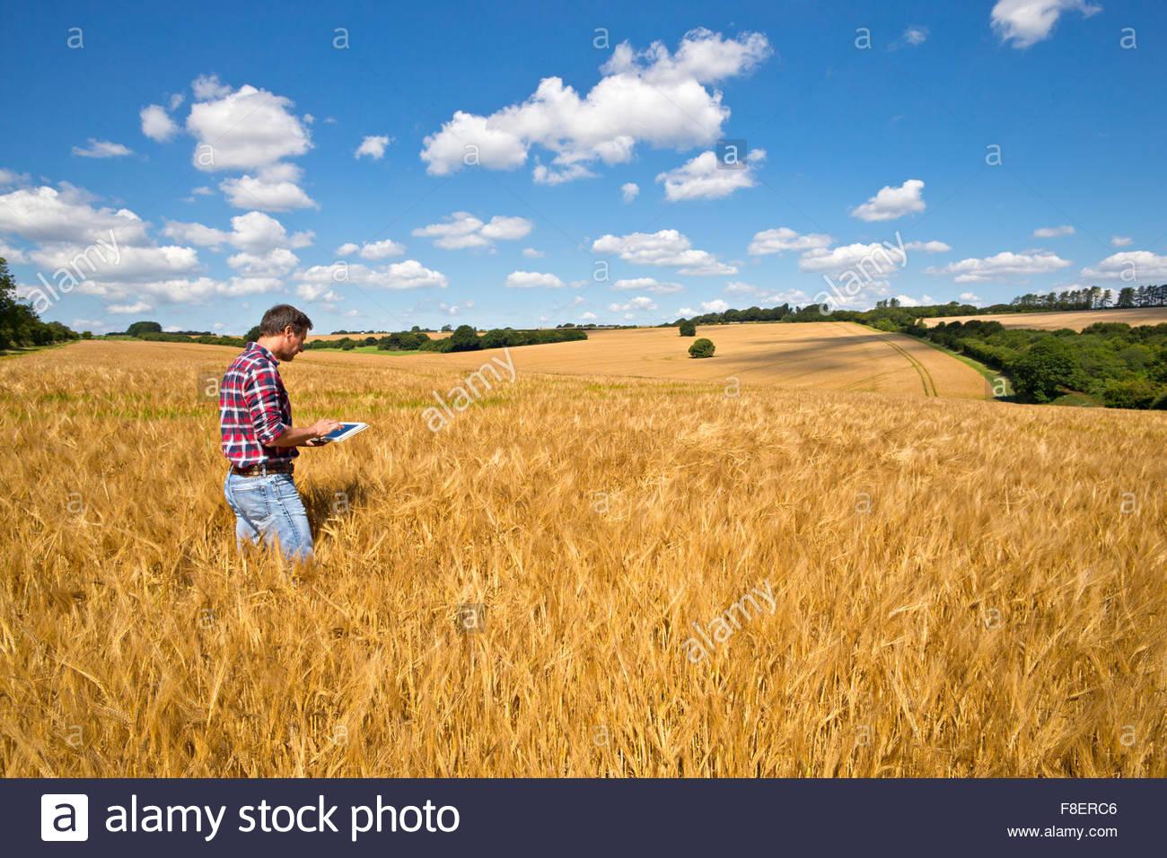 Farmer using digital tablet in sunny rural barley crop field in summer - Stock Image