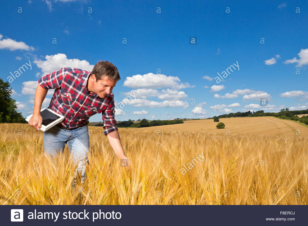 Farmer with digital tablet bending to examine sunny rural barley crop field in summer - Stock Image