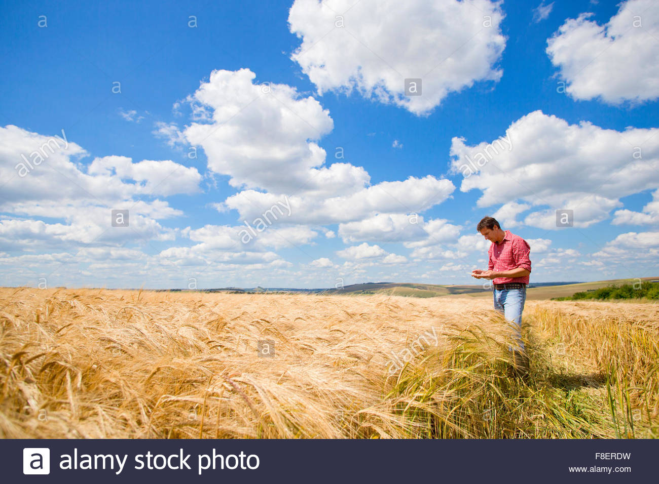 Farmer examining sunny rural barley crop field in summer - Stock Image