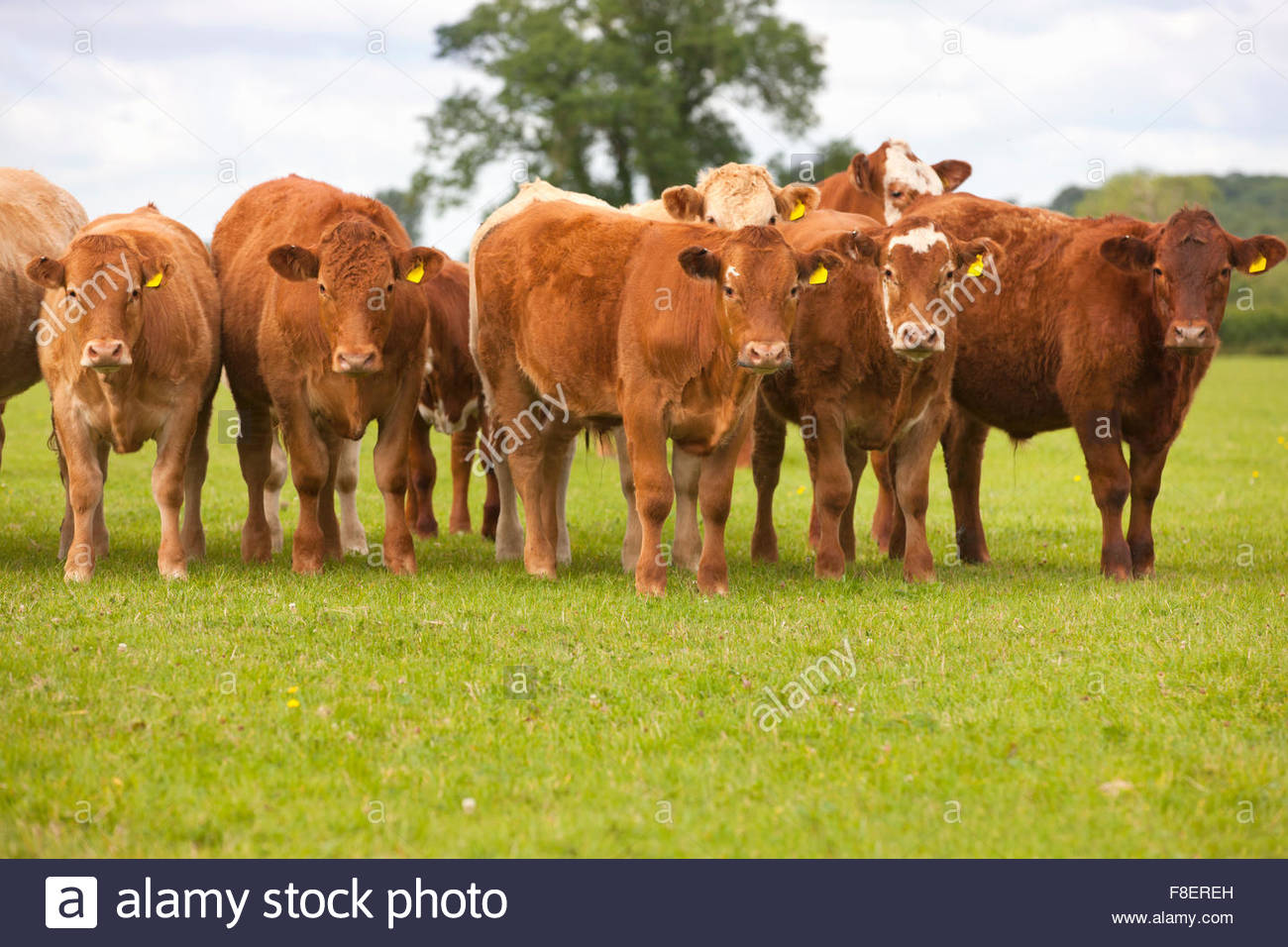 Portrait of herd of brown cows in rural field - Stock Image