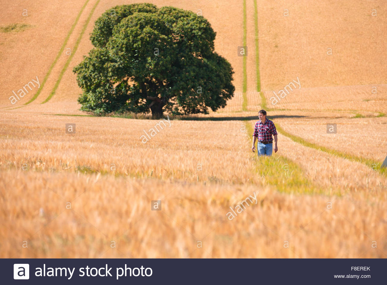 Farmer walking in sunny rural barley crop field in summer - Stock Image