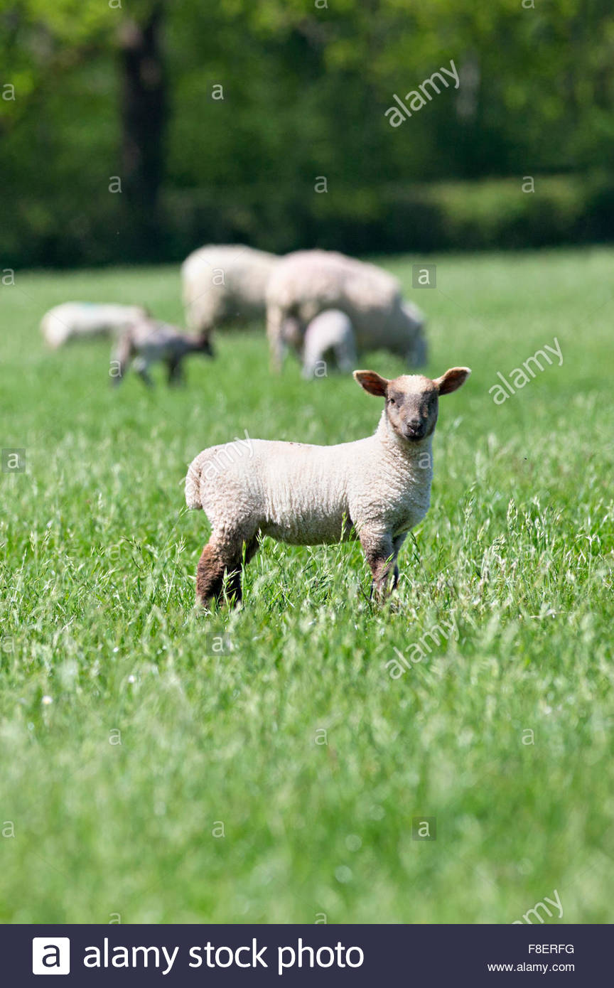 Portrait of lamb in sunny green spring field - Stock Image