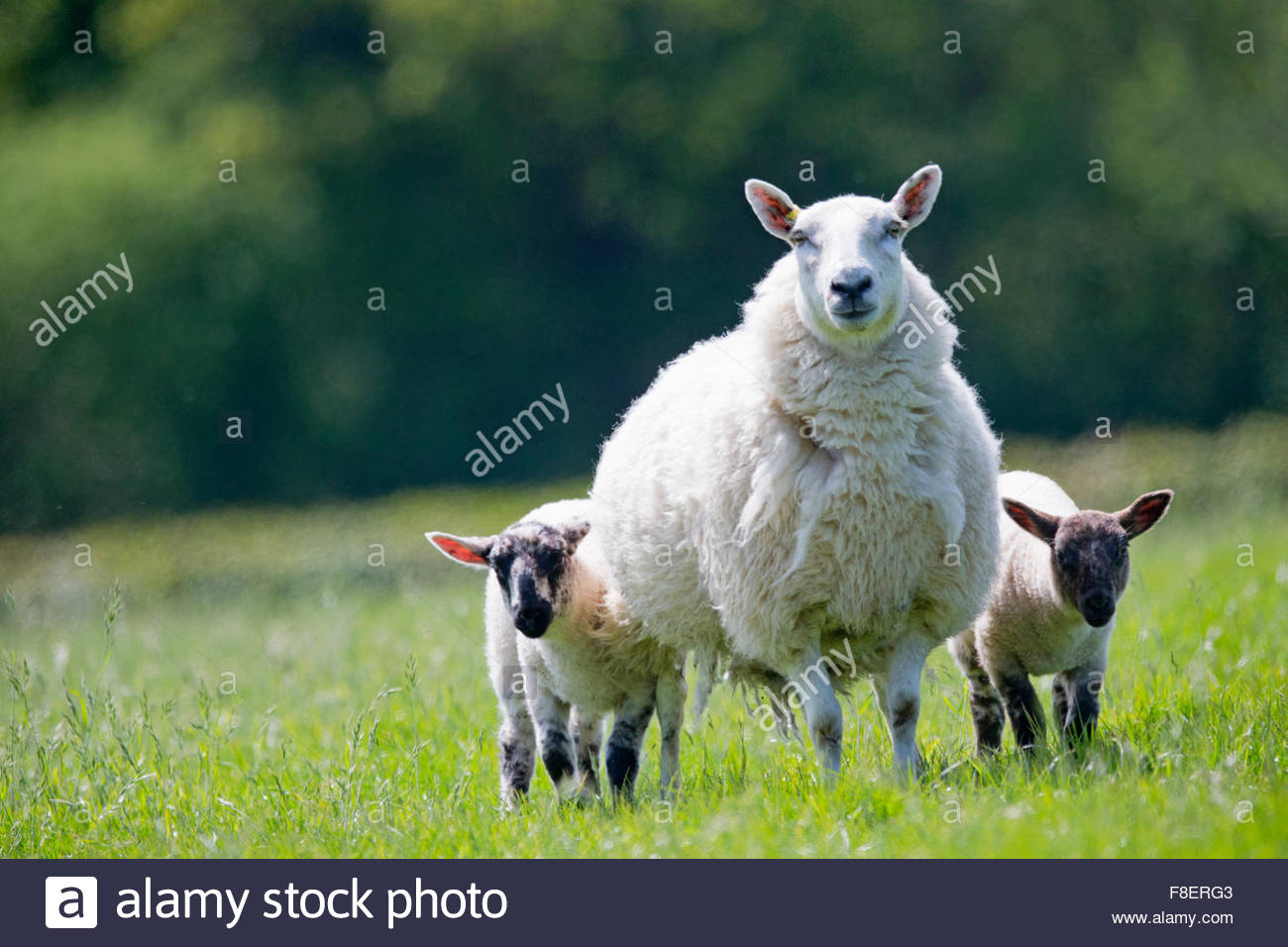 Portrait sheep and lambs in sunny green spring field - Stock Image