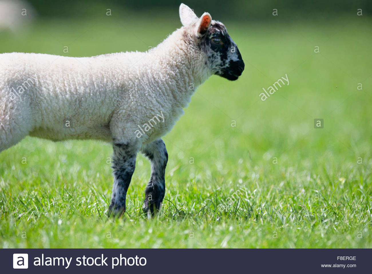 Lamb walking in sunny green spring grass - Stock Image