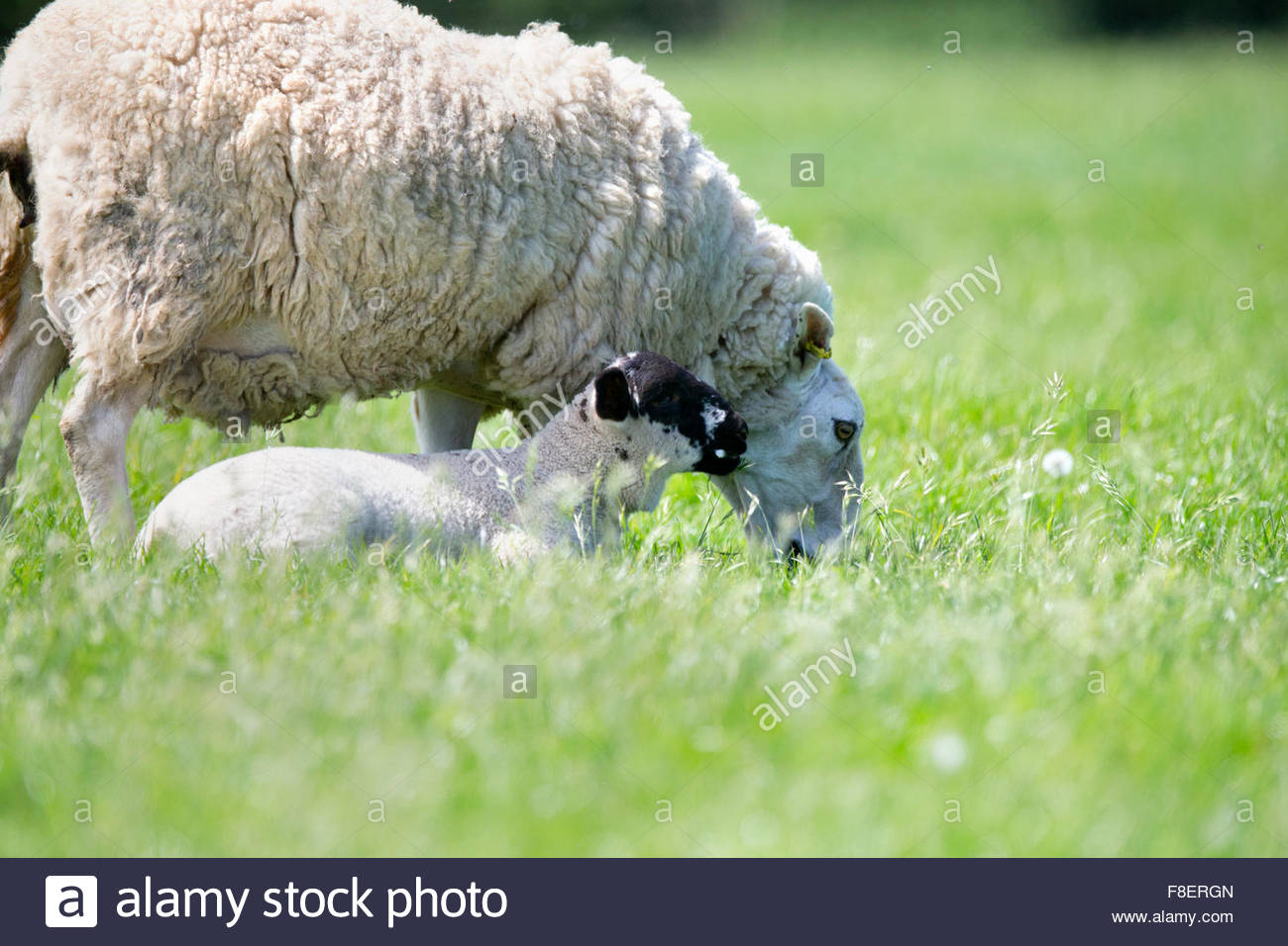Sheep and lamb in sunny green spring field - Stock Image