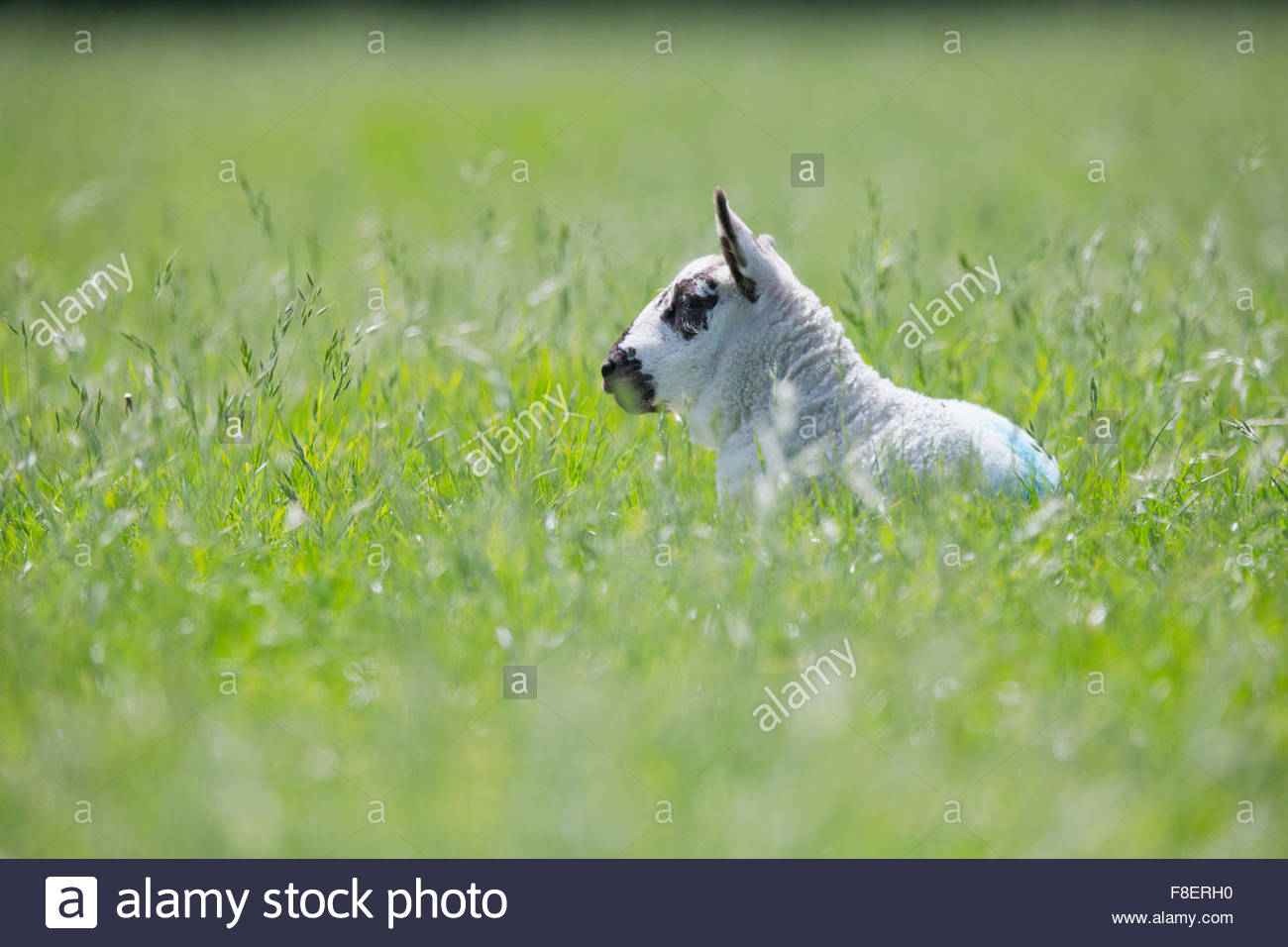 Lamb laying in sunny green spring field - Stock Image