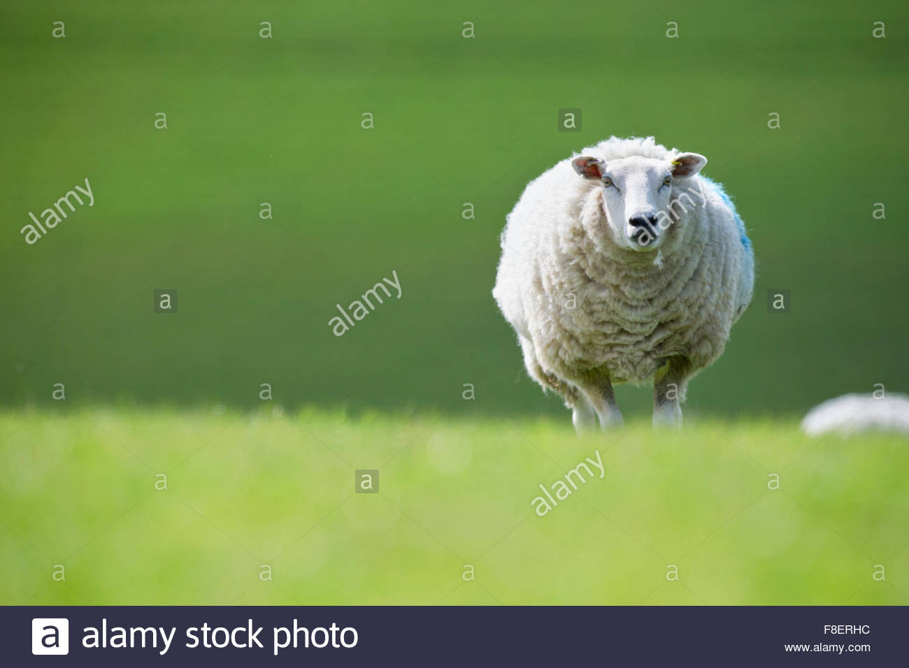 Portrait sheep in green spring field - Stock Image