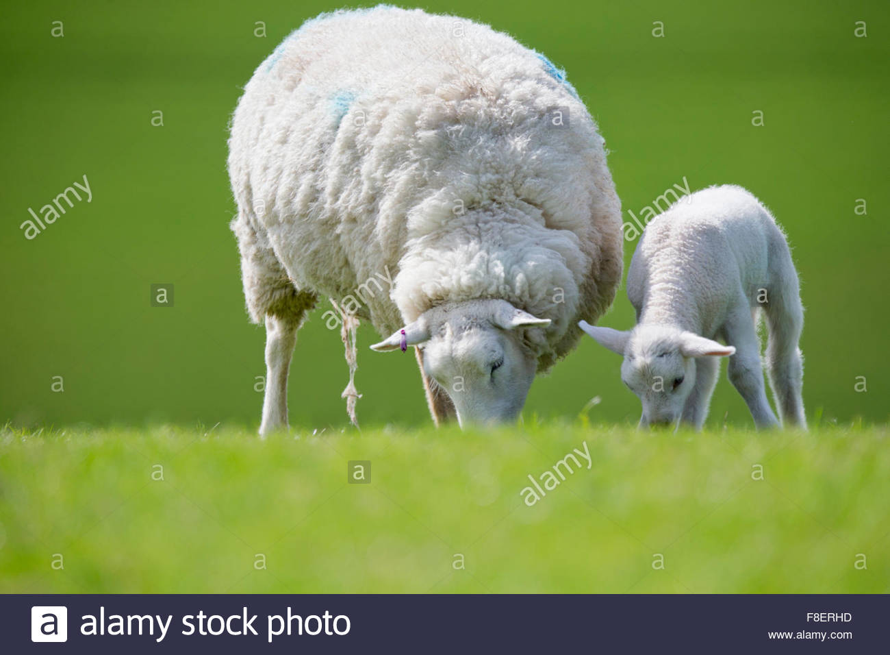 Sheep and lamb grazing in green spring field - Stock Image