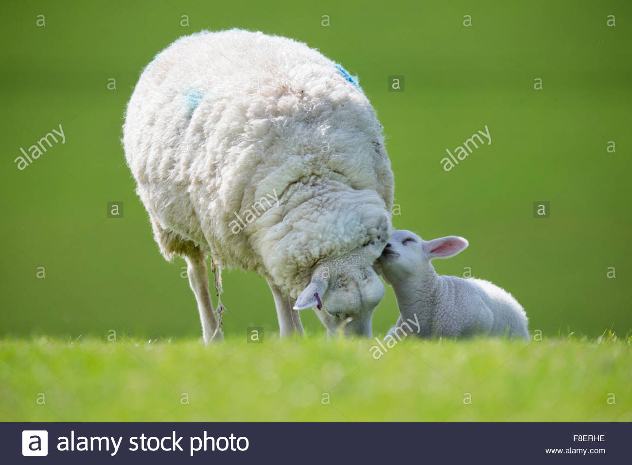 Affectionate lamb and grazing sheep in green spring field - Stock Image
