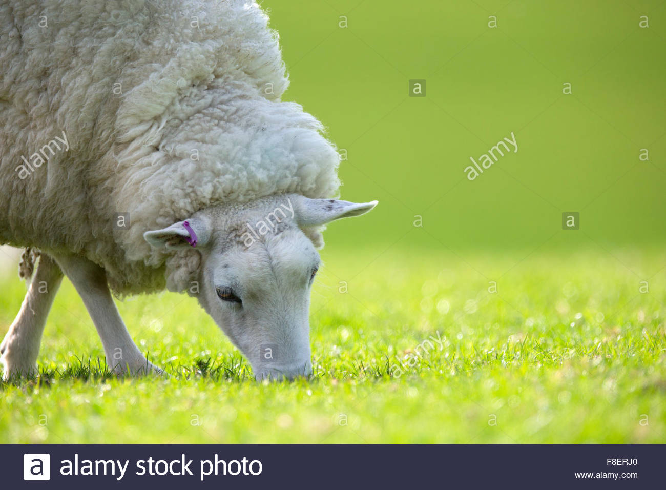 Sheep grazing in green spring grass - Stock Image