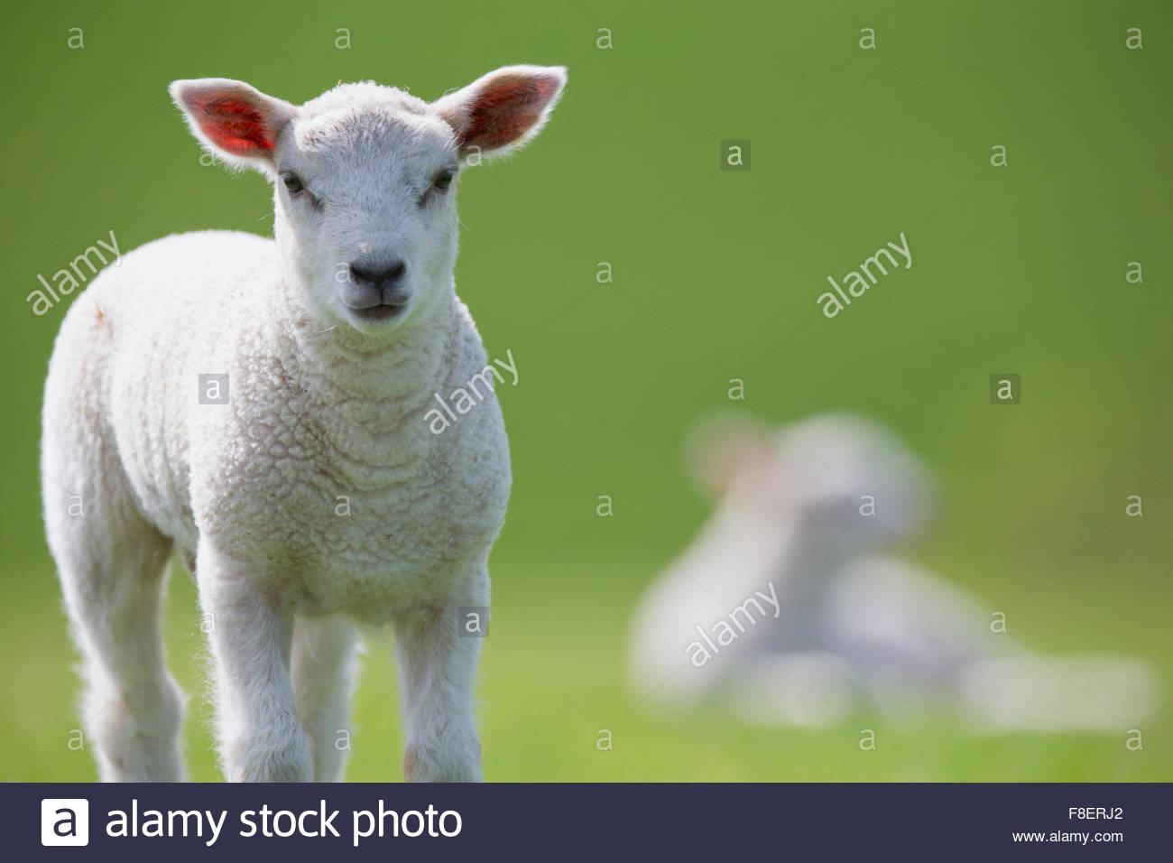 Portrait of lamb in green spring grass - Stock Image