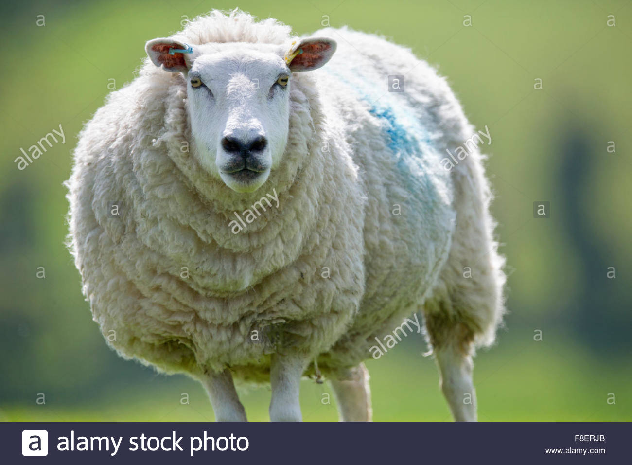 Portrait of sheep - Stock Image