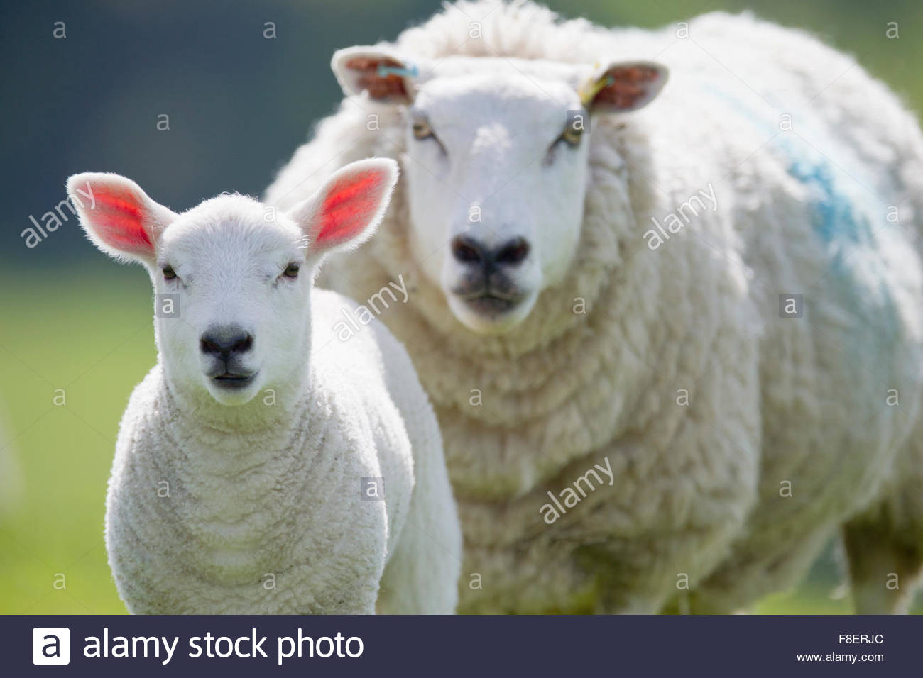 Portrait of sheep and lamb, focus on foreground - Stock Image