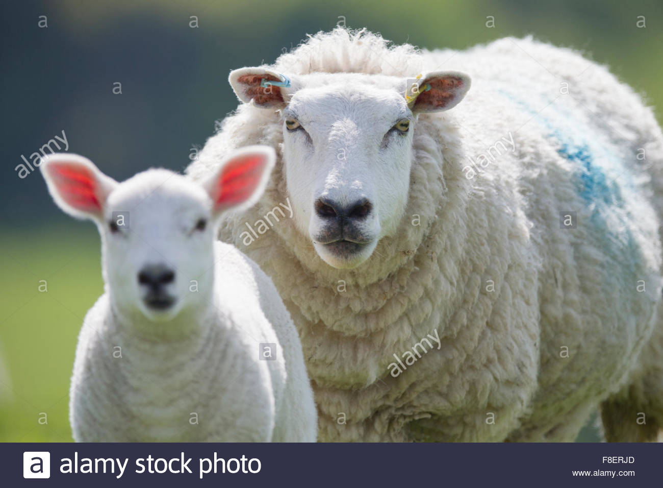 Portrait of sheep and lamb, focus on background - Stock Image