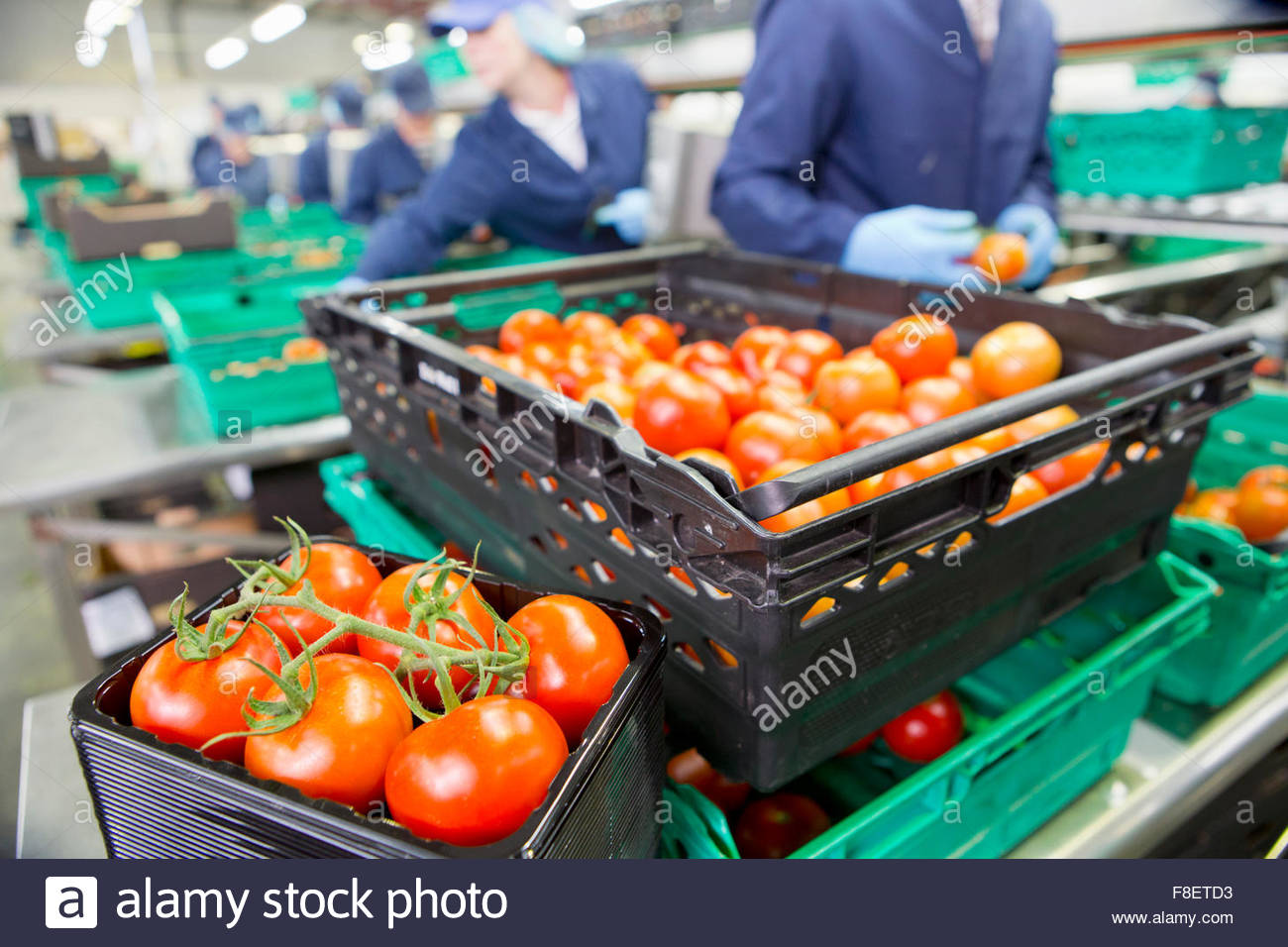 Ripe red vine tomatoes in package and bin in food processing plant - Stock Image