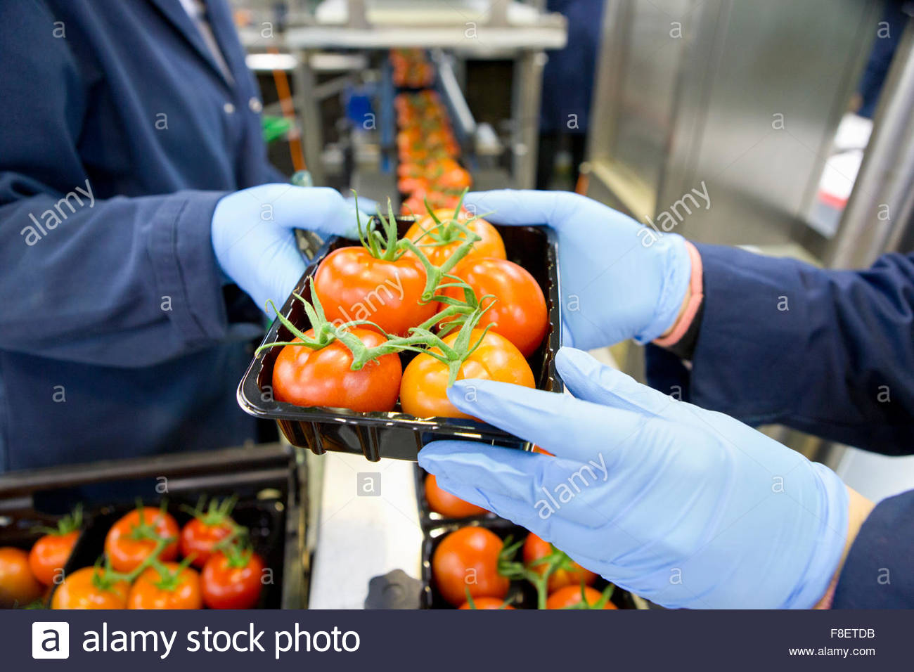Workers packing ripe red vine tomatoes on production line in food processing plant - Stock Image