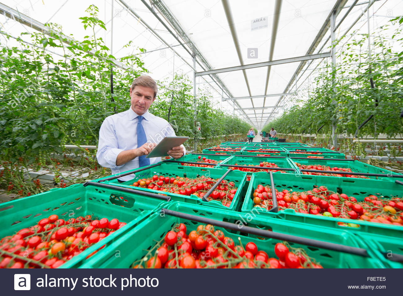 Businessman with digital tablet inspecting crates of ripe red vine tomatoes in greenhouse - Stock Image