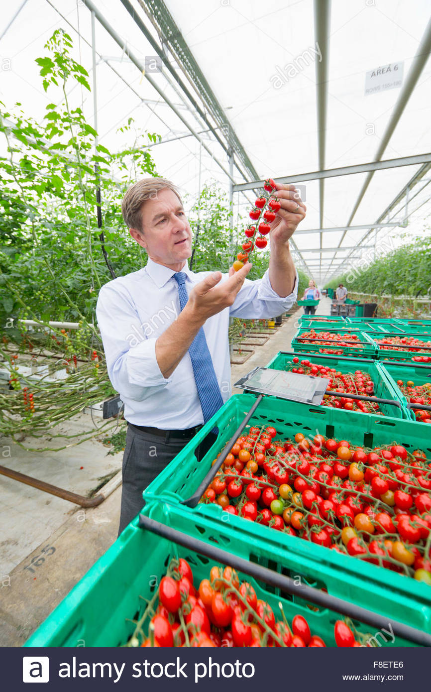 Businessman inspecting ripe red vine tomatoes in greenhouse Stock Photo