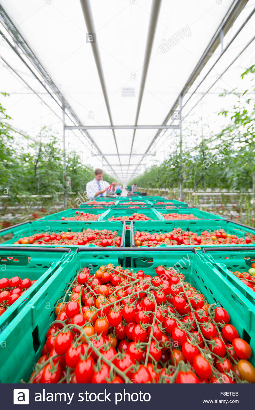Abundance of ripe red vine tomatoes in crates in greenhouse - Stock Image